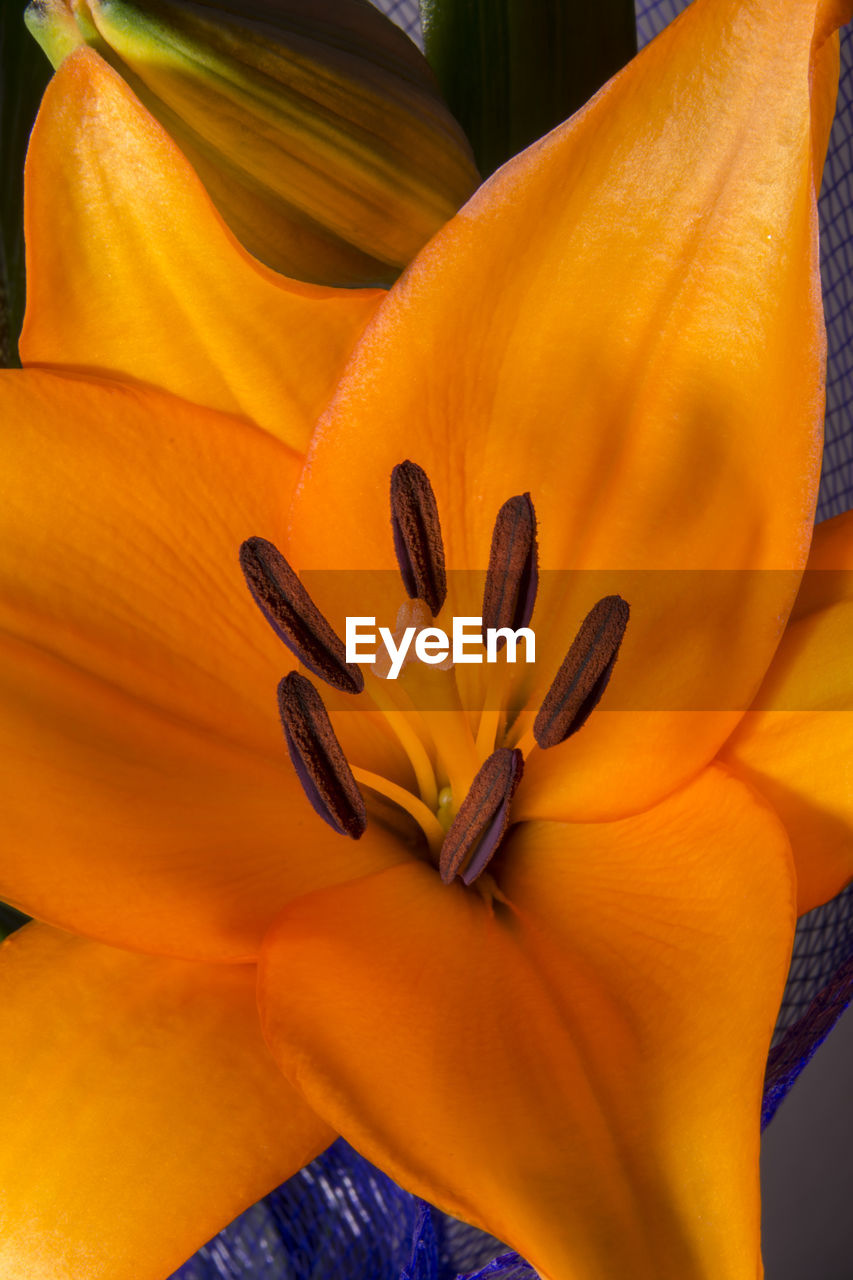 flower, petal, orange color, beauty in nature, fragility, freshness, flower head, nature, growth, stamen, outdoors, no people, close-up, day, day lily, blooming