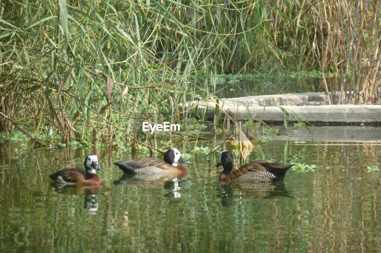 group of animals, animal themes, animal, water, animals in the wild, animal wildlife, bird, vertebrate, lake, swimming, nature, plant, reflection, young animal, day, no people, waterfront, young bird, animal family, duck, outdoors