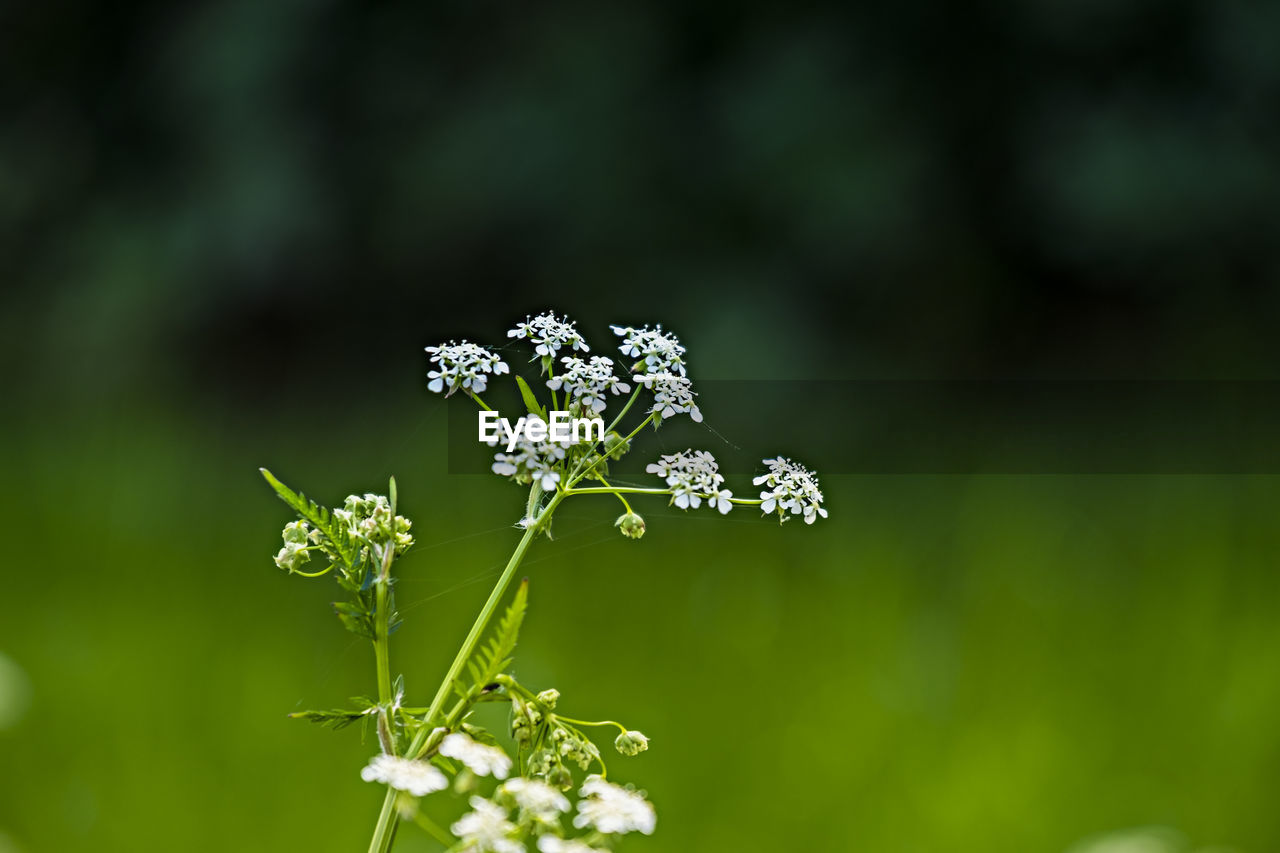 plant, flowering plant, flower, freshness, beauty in nature, fragility, vulnerability, growth, close-up, nature, focus on foreground, day, no people, flower head, green color, white color, selective focus, outdoors, inflorescence, petal