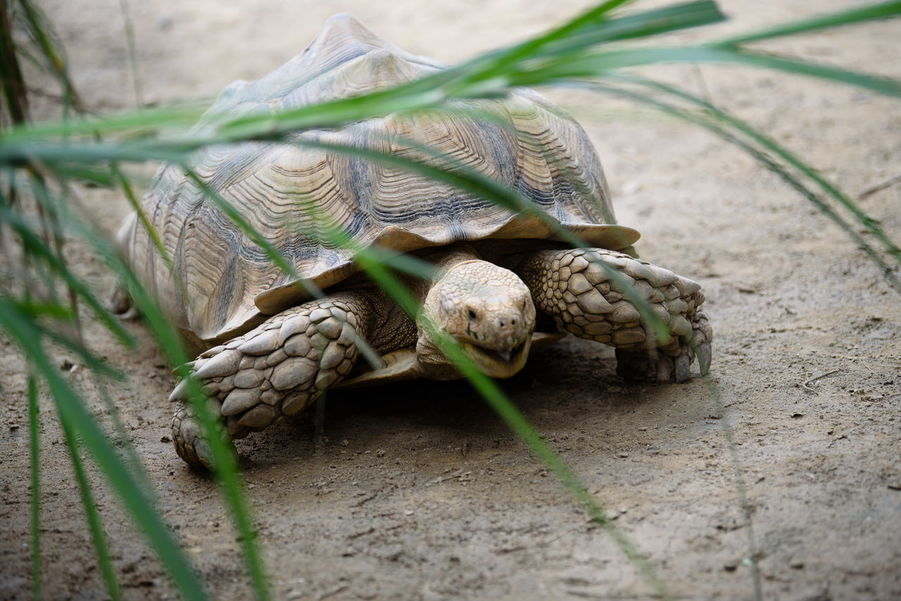 animal, animal themes, no people, animal wildlife, nature, close-up, day, animals in the wild, one animal, selective focus, shell, reptile, vertebrate, animal body part, outdoors, food and drink, plant, field, animal shell, land