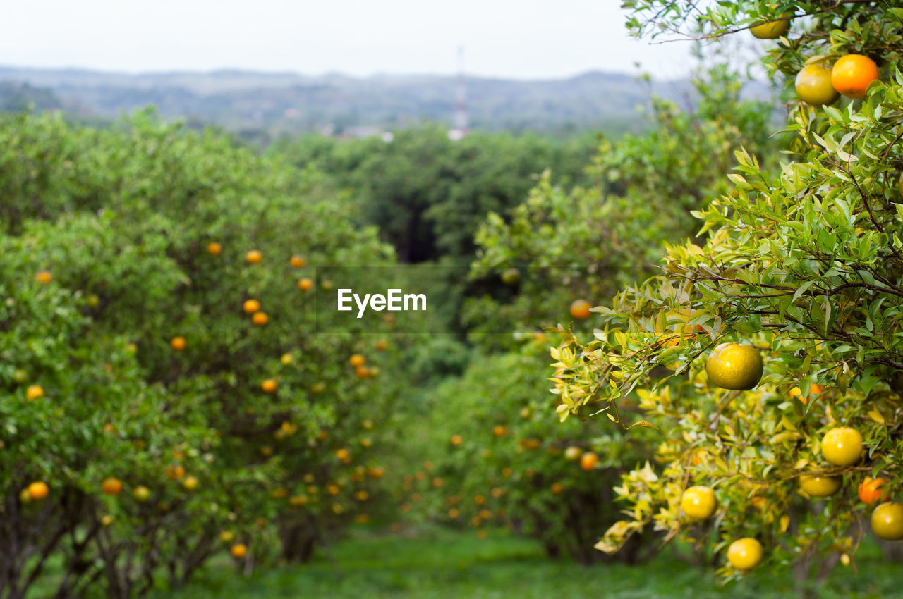 fruit, food, plant, food and drink, growth, green color, healthy eating, freshness, nature, no people, selective focus, beauty in nature, day, field, tree, close-up, wellbeing, agriculture, outdoors, land, ripe, orange