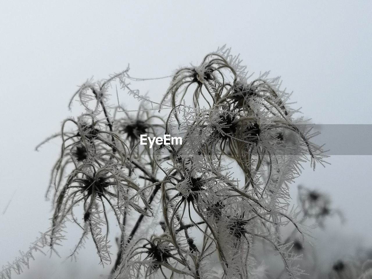 Close-Up Of Frosted Plants Against Clear Sky During Winter