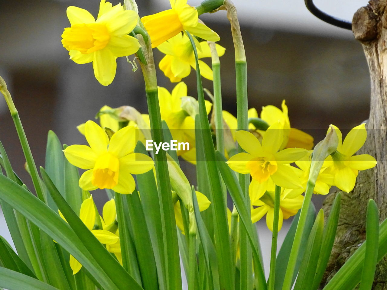 flower, flowering plant, plant, vulnerability, fragility, beauty in nature, yellow, growth, freshness, close-up, petal, flower head, inflorescence, nature, daffodil, no people, green color, day, focus on foreground, botany, outdoors, springtime