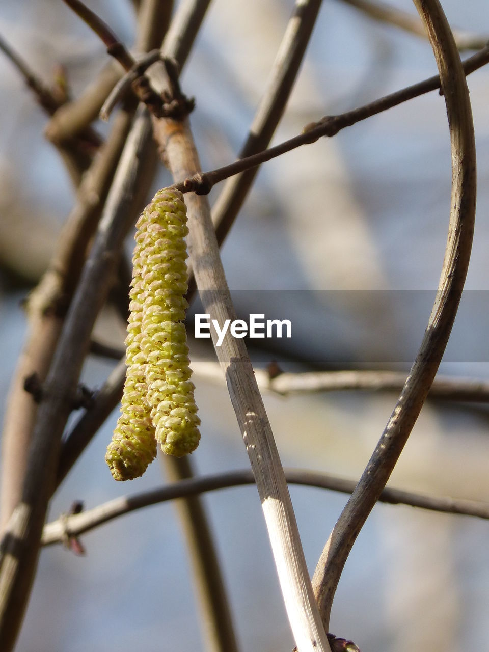 catkin, focus on foreground, growth, green color, close-up, no people, day, beauty in nature, nature, outdoors