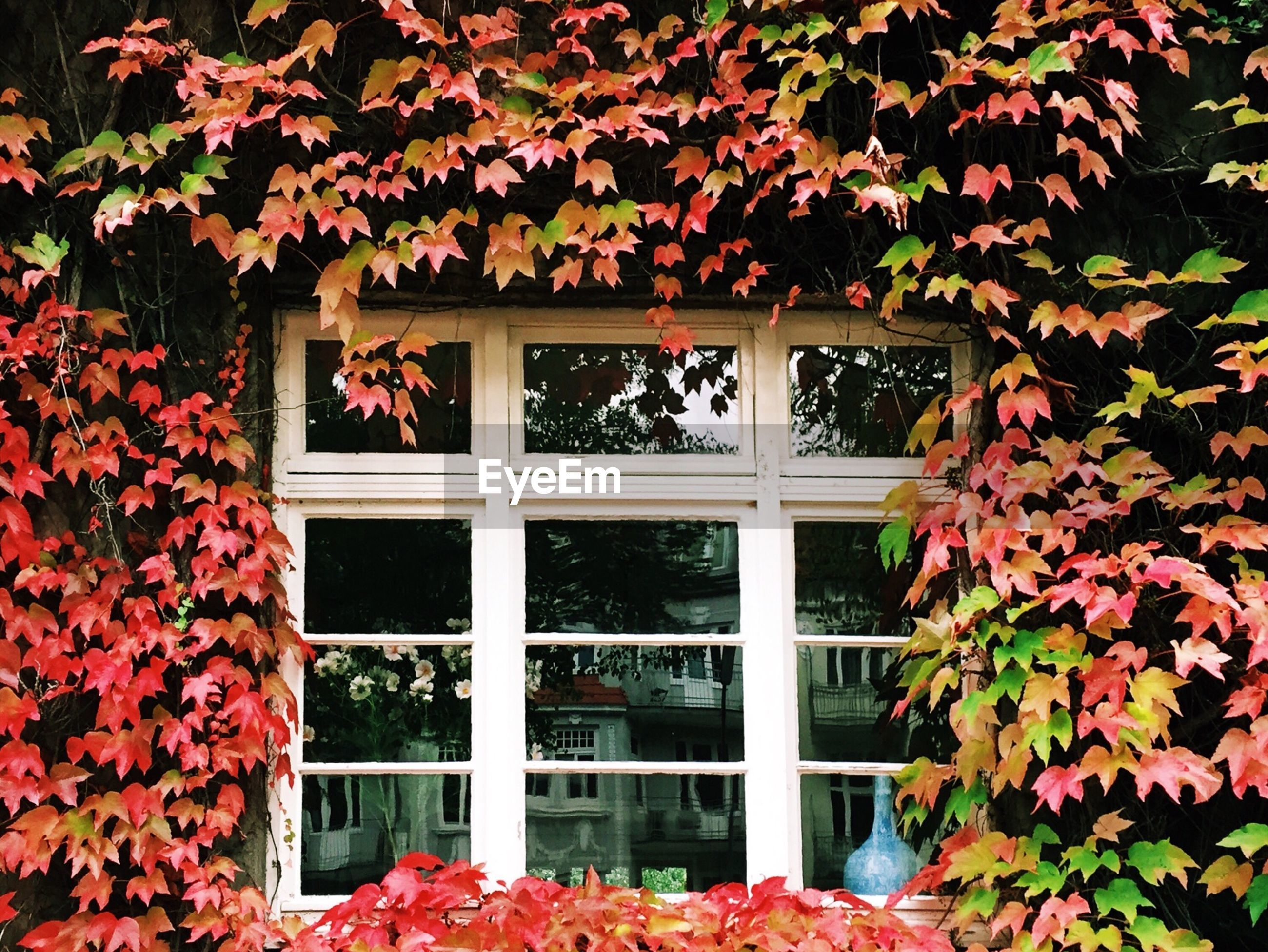 Window of a house covered with creeper plant