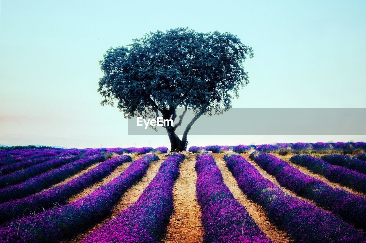 plant, field, land, landscape, tree, beauty in nature, nature, purple, growth, sky, environment, flower, tranquility, flowering plant, scenics - nature, tranquil scene, rural scene, day, no people, lavender, outdoors