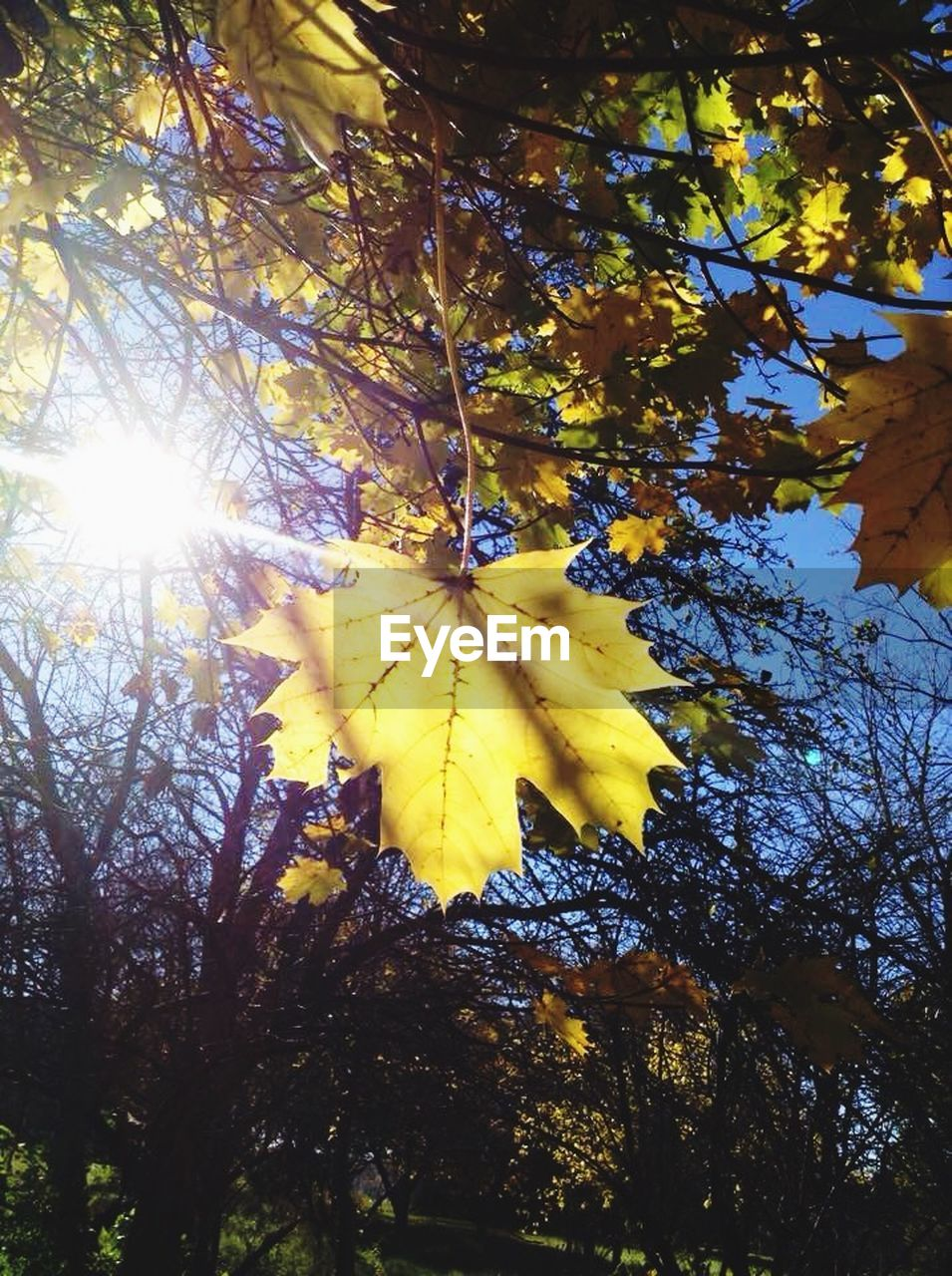 autumn, leaf, change, tree, low angle view, nature, maple leaf, branch, beauty in nature, day, maple, maple tree, outdoors, yellow, sunlight, no people, growth, close-up, fragility, sky