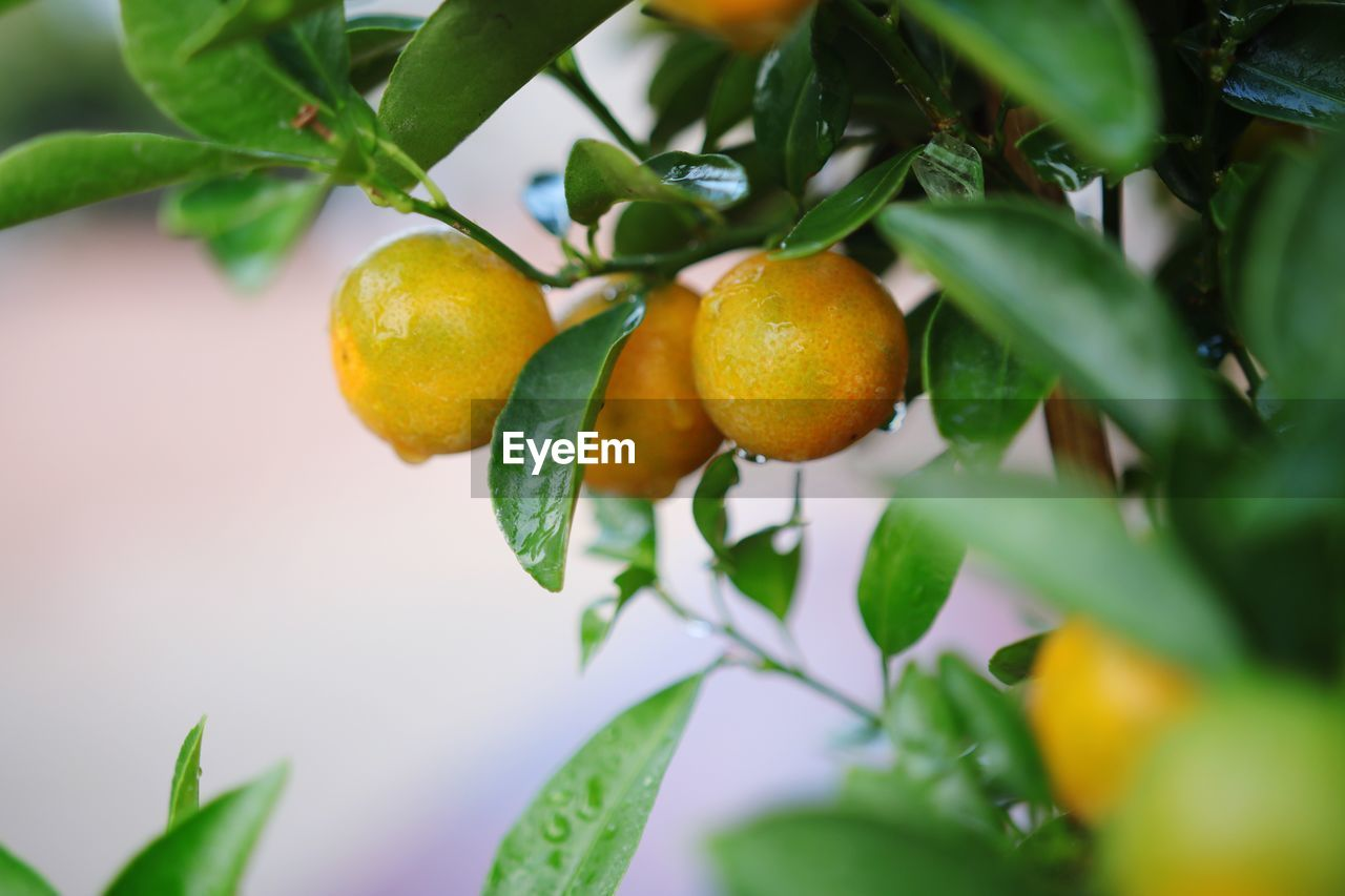 leaf, food, plant part, food and drink, growth, healthy eating, fruit, freshness, plant, wellbeing, close-up, citrus fruit, tree, orange color, nature, fruit tree, green color, no people, beauty in nature, orange - fruit, orange, ripe, outdoors