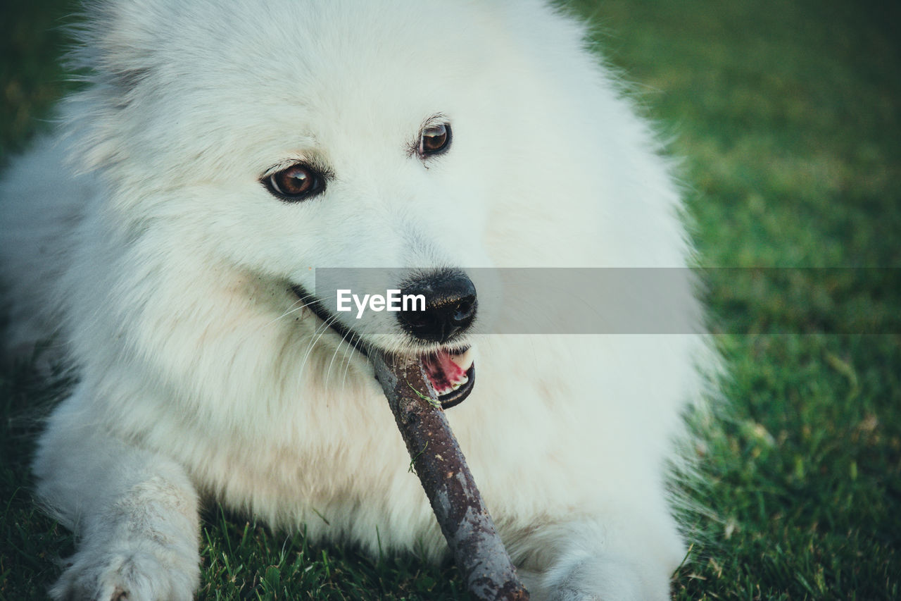 one animal, mammal, animal themes, domestic, dog, animal, pets, canine, domestic animals, vertebrate, white color, focus on foreground, close-up, no people, land, field, looking away, pomeranian, animal body part, looking, mouth open, animal head