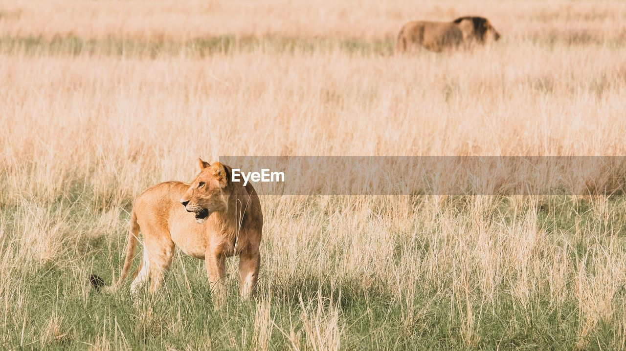 Lioness on a field