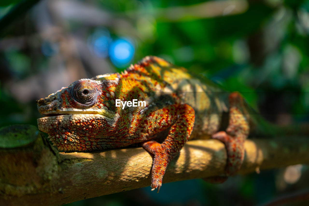 animal themes, animal, one animal, focus on foreground, animal wildlife, lizard, vertebrate, animals in the wild, close-up, reptile, no people, day, nature, branch, outdoors, chameleon, animal body part, sunlight, selective focus, tree, animal scale