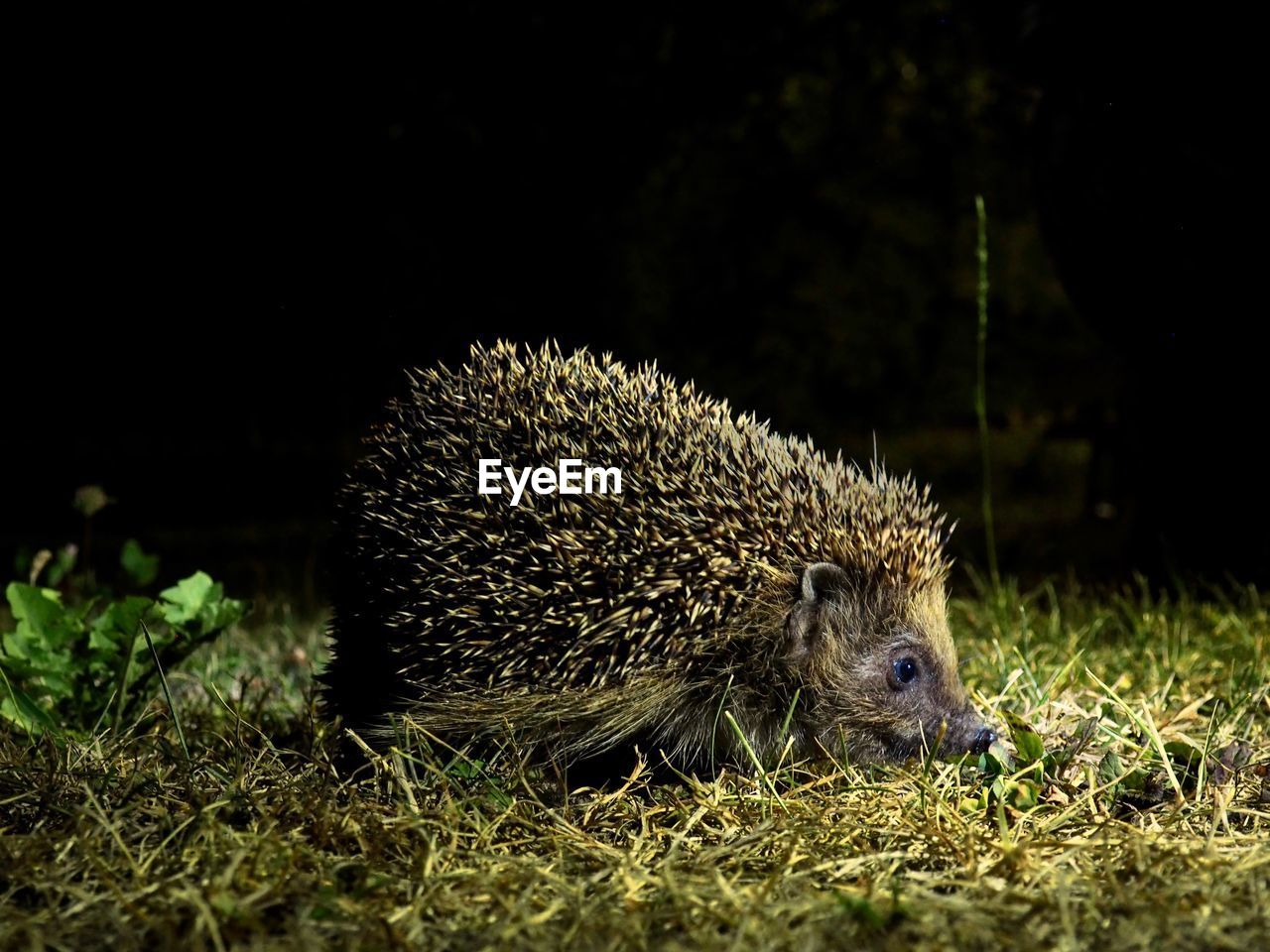 animal, animal themes, animal wildlife, hedgehog, animals in the wild, mammal, one animal, field, no people, night, vertebrate, nature, land, plant, close-up, spiked, outdoors, grass, selective focus