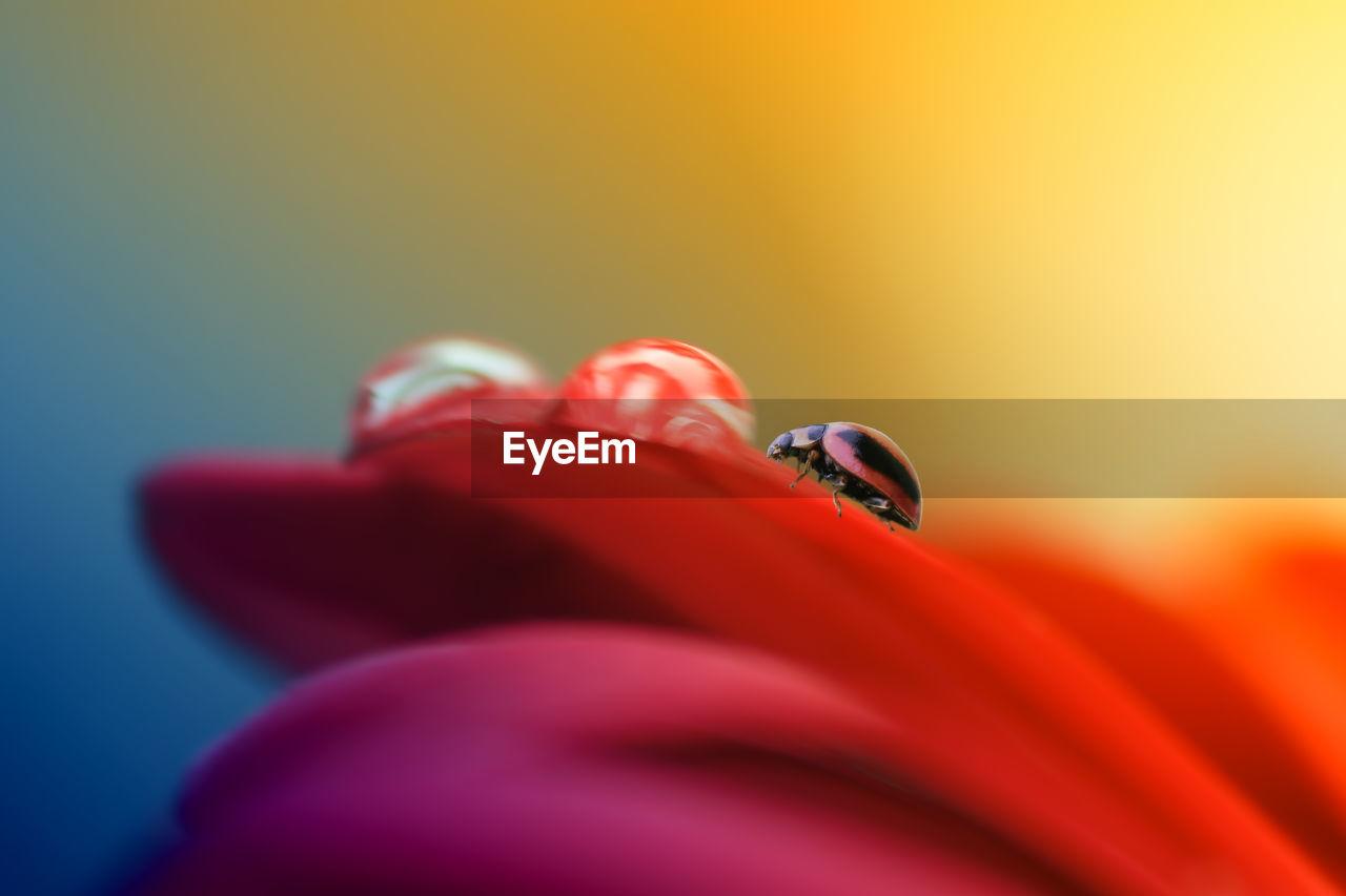 Close-Up Of Ladybug On Red Flower