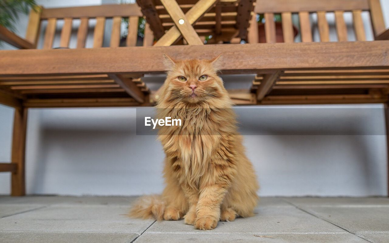 one animal, pets, animal themes, domestic cat, mammal, focus on foreground, domestic animals, table, indoors, feline, wood - material, no people, looking at camera, day, portrait, full length, sitting