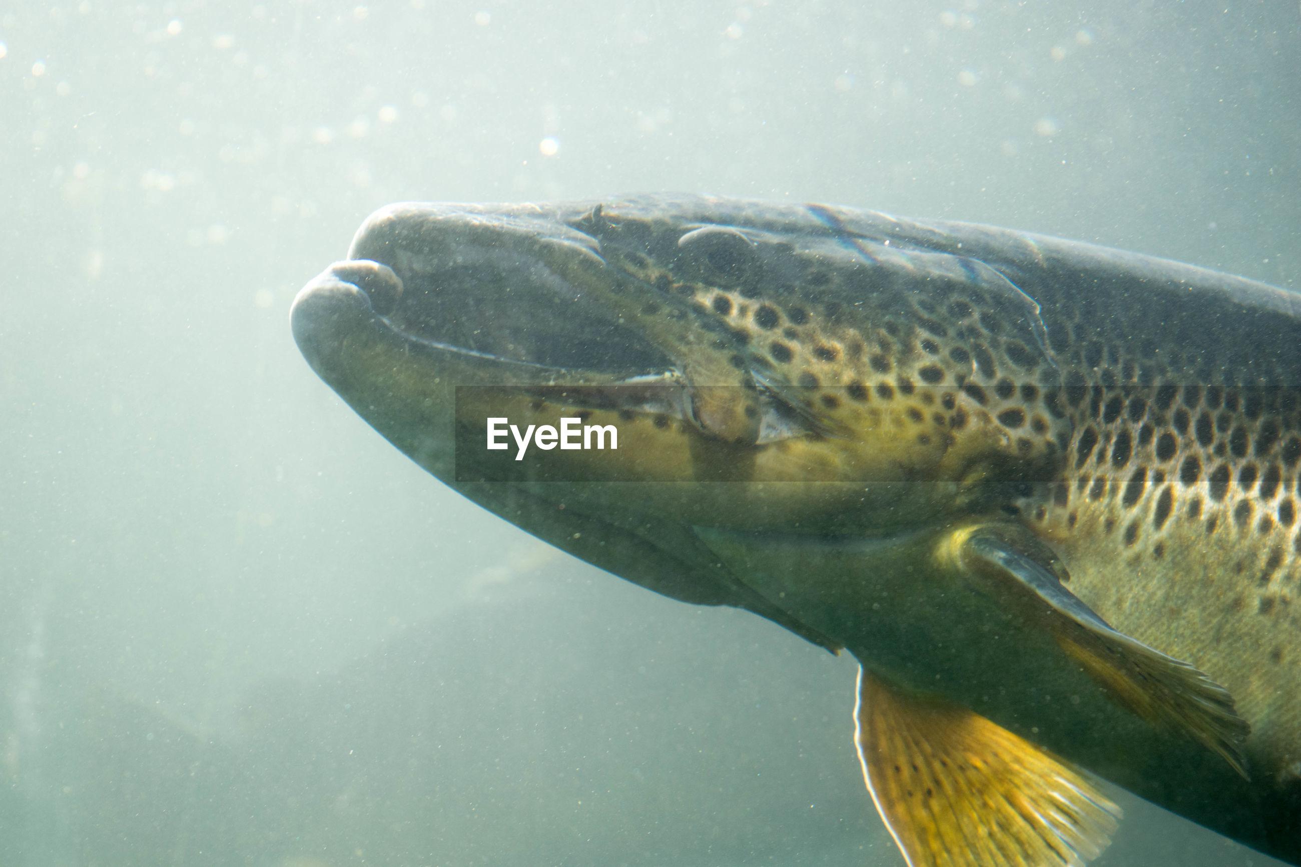 Close-Up Of Rainbow Trout Swimming In Tank At Aquarium