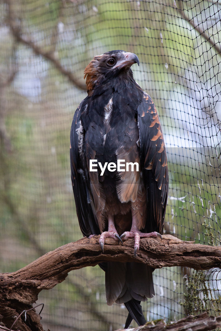 vertebrate, bird, animal, animal themes, animal wildlife, animals in the wild, one animal, bird of prey, perching, focus on foreground, tree, day, no people, eagle - bird, animals in captivity, branch, zoo, plant, wood - material, nature, outdoors, eagle