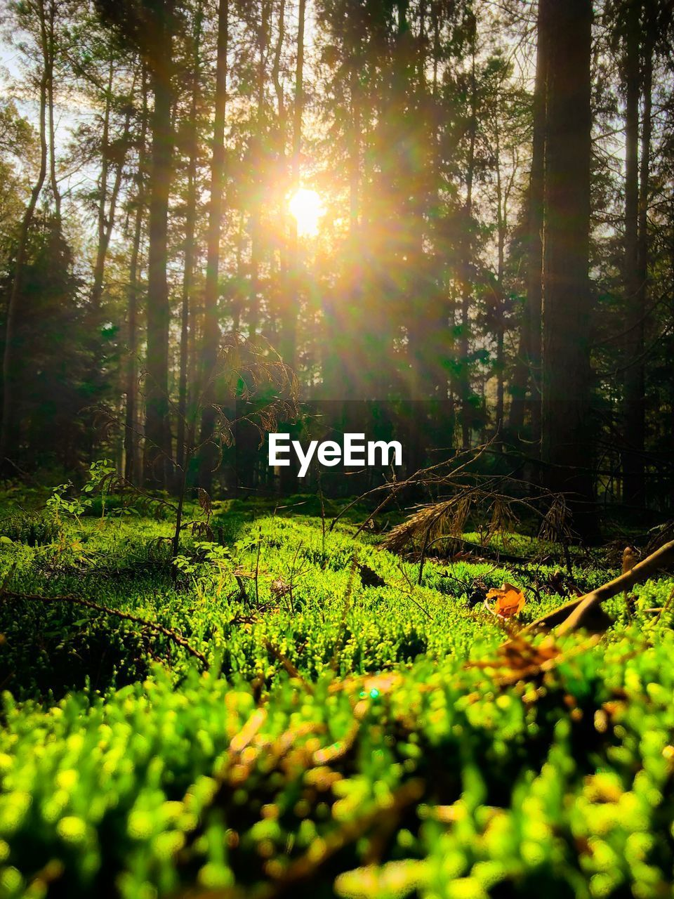 plant, growth, tree, land, forest, beauty in nature, sunlight, nature, tranquility, day, sun, lens flare, flower, green color, tranquil scene, no people, scenics - nature, flowering plant, sunbeam, tree trunk, woodland, outdoors, bright, surface level