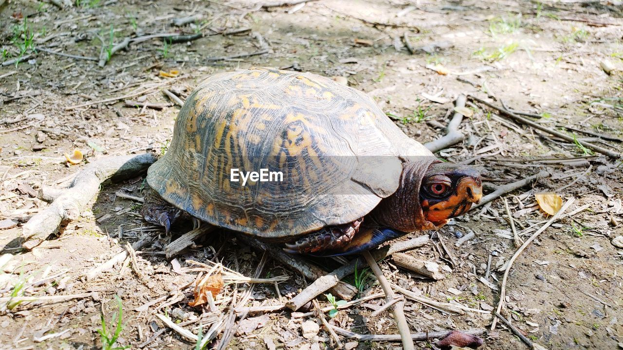 animal, animal themes, animal wildlife, turtle, animals in the wild, one animal, reptile, vertebrate, tortoise, land, nature, field, no people, shell, animal shell, high angle view, close-up, day, outdoors, plant, tortoise shell