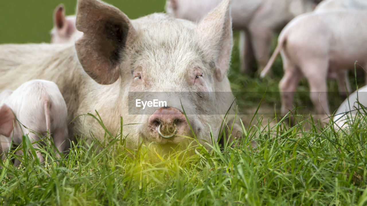 mammal, livestock, animal, animal themes, domestic animals, group of animals, domestic, pets, grass, plant, pig, portrait, agriculture, field, vertebrate, day, nature, young animal, farm, no people, outdoors, snout, animal head, herbivorous