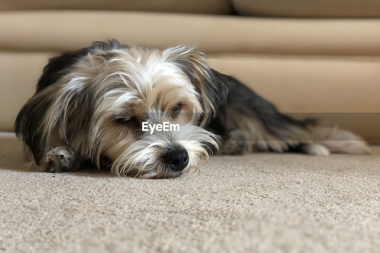 canine, dog, pets, domestic, domestic animals, one animal, mammal, animal, animal themes, relaxation, portrait, looking at camera, vertebrate, animal hair, indoors, home interior, selective focus, close-up, no people, flooring, surface level, animal head