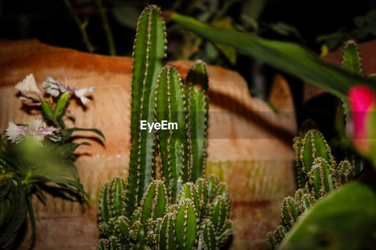 plant, growth, green color, beauty in nature, succulent plant, nature, selective focus, close-up, plant part, no people, leaf, cactus, botany, day, thorn, flower, freshness, vulnerability, flowering plant, outdoors