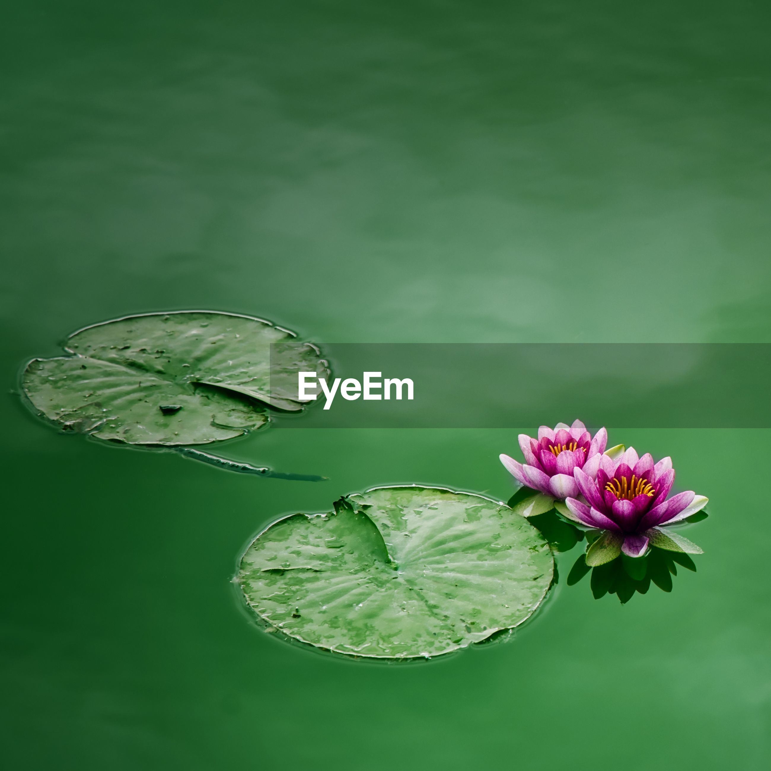 CLOSE-UP OF LOTUS WATER LILY IN THE LAKE