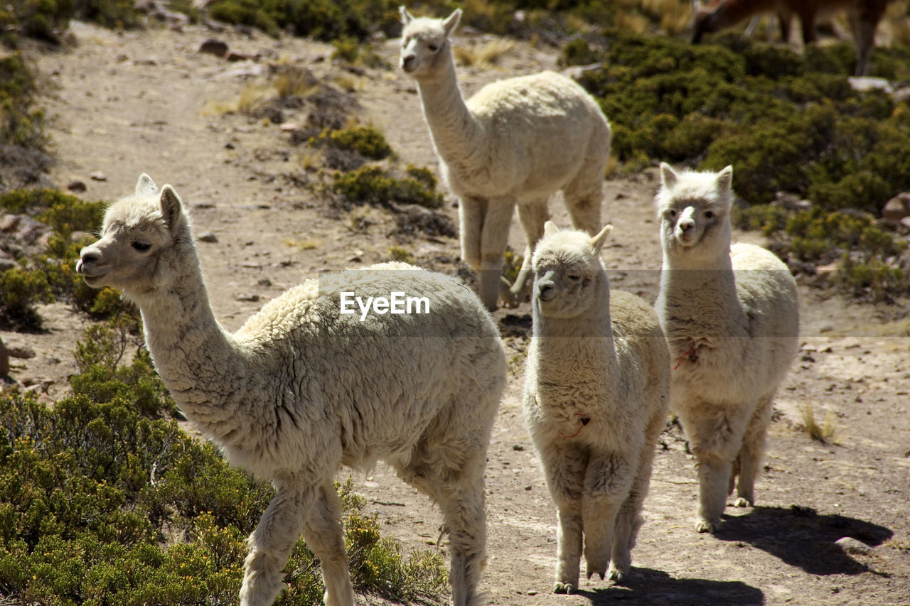 animal themes, animal, group of animals, mammal, livestock, domestic animals, animals in the wild, vertebrate, nature, animal wildlife, land, llama, standing, agriculture, no people, domestic, full length, day, young animal, field, animal family, herbivorous, outdoors, herd