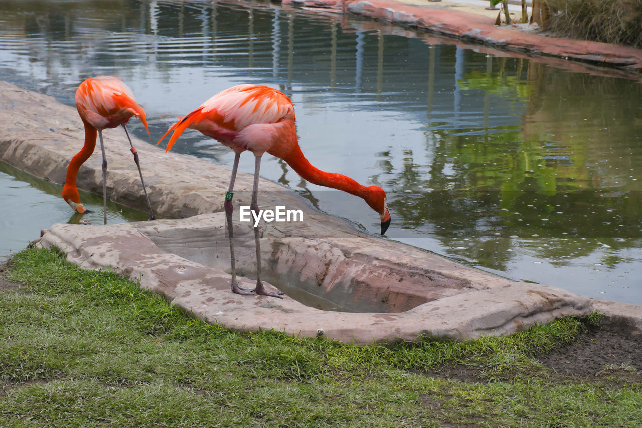 VIEW OF BIRD DRINKING WATER