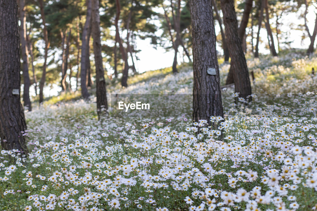 Scenic view of white flowering trees in forest