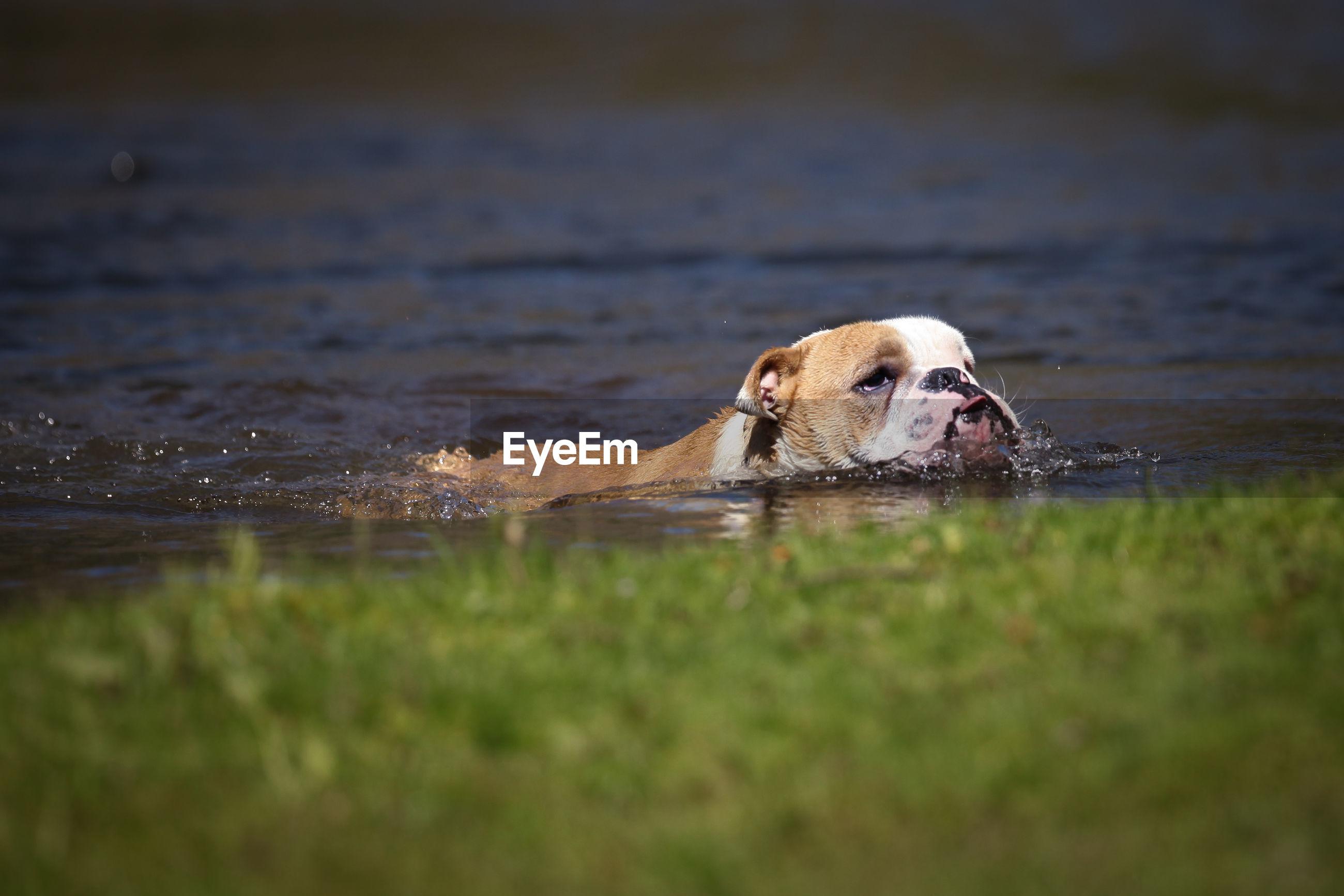 English bulldog swimming in lake