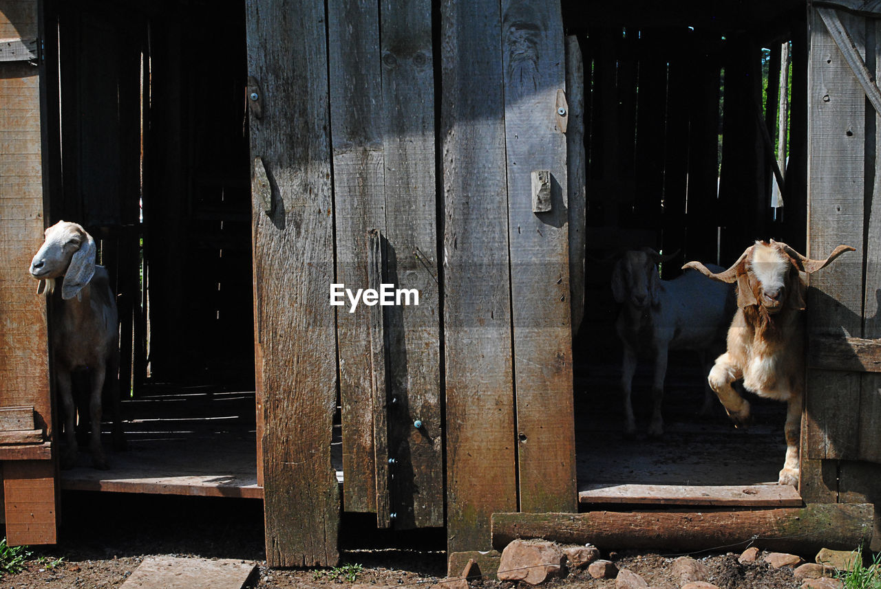 domestic animals, mammal, domestic, pets, one animal, dog, vertebrate, canine, entrance, wood - material, day, door, no people, architecture, livestock, standing, building exterior, outdoors