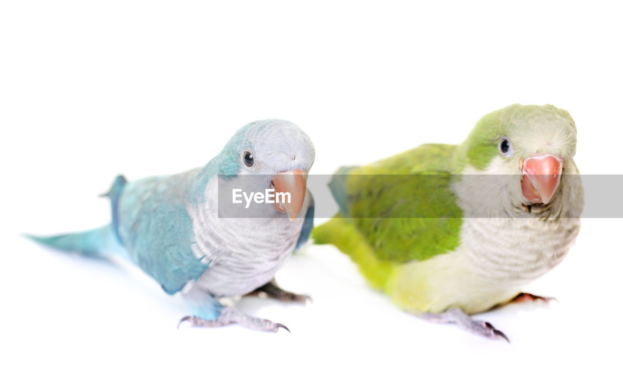 bird, white background, animal themes, studio shot, parrot, close-up, animals in the wild, no people, beak, nature, perching, beauty in nature, day, outdoors, mammal