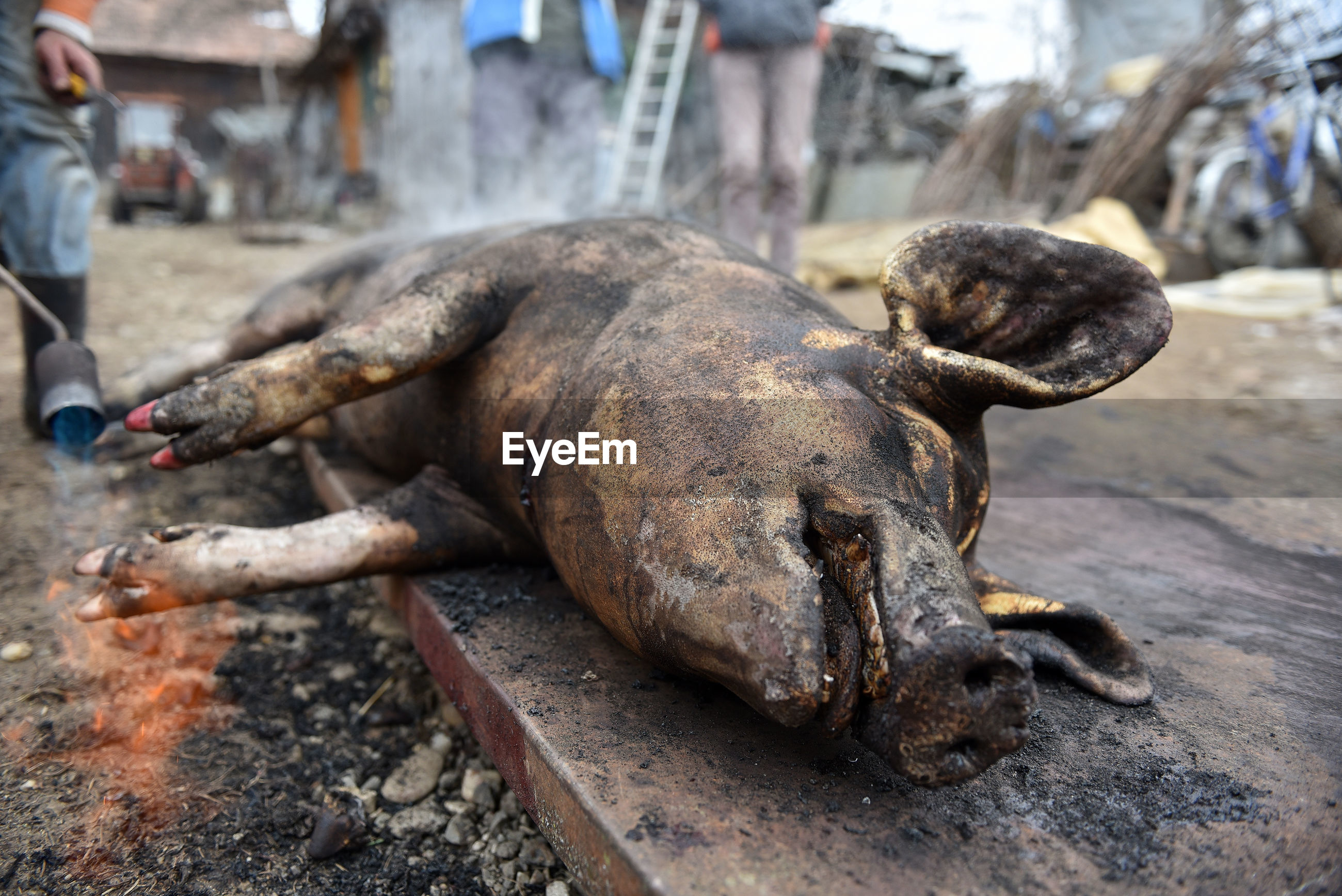 Low section of butcher standing by dead pig on metal