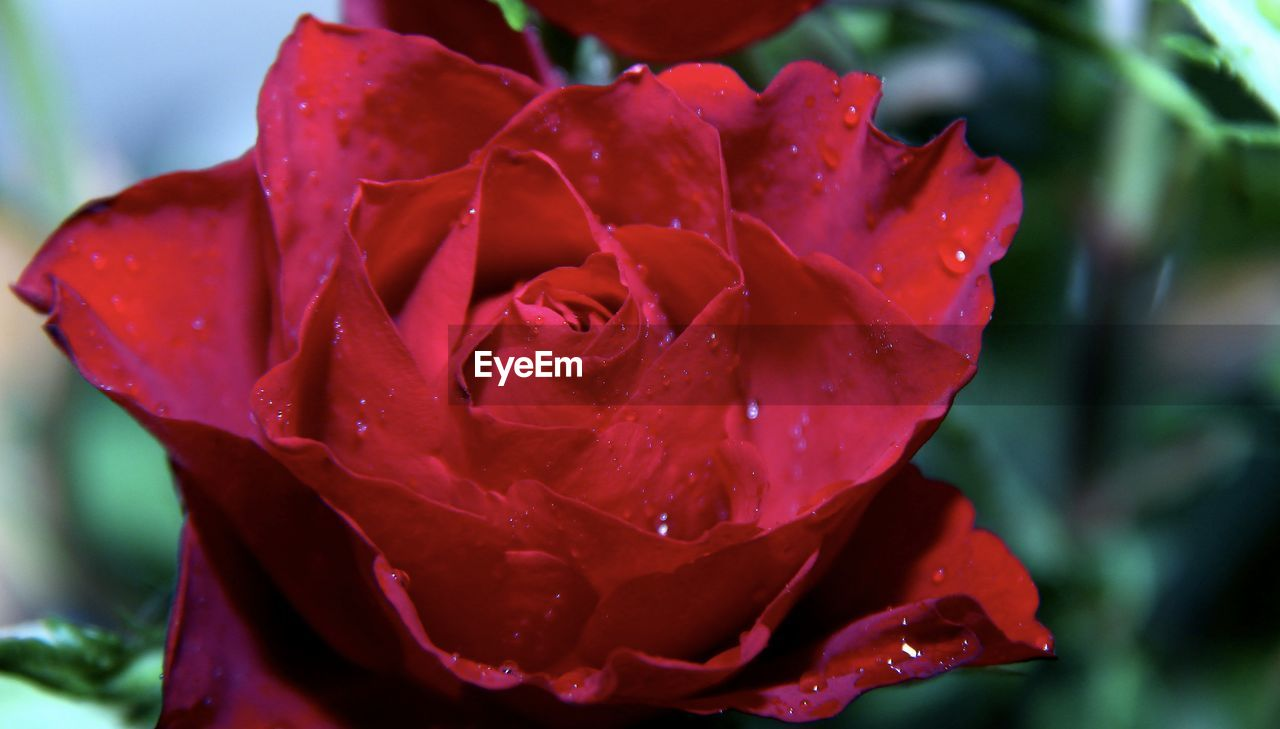 petal, flower, drop, nature, beauty in nature, growth, wet, fragility, flower head, water, red, freshness, rose - flower, close-up, no people, outdoors, day, plant, raindrop, focus on foreground, blooming