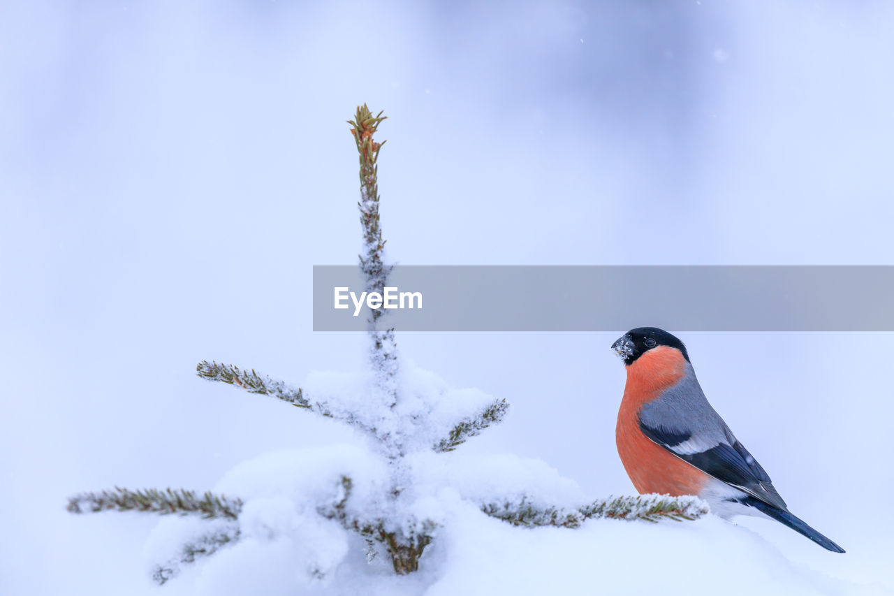 winter, snow, cold temperature, animals in the wild, bird, animal wildlife, nature, animal themes, vertebrate, animal, no people, day, beauty in nature, focus on foreground, outdoors, frozen, perching, close-up, covering