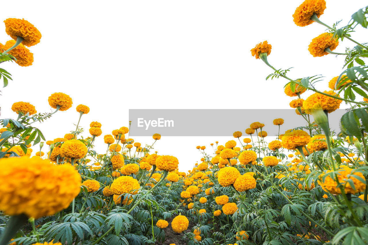 yellow, plant, flower, flowering plant, freshness, growth, beauty in nature, sky, fragility, vulnerability, flower head, nature, petal, no people, inflorescence, clear sky, low angle view, close-up, day, orange color, sunflower, outdoors, springtime