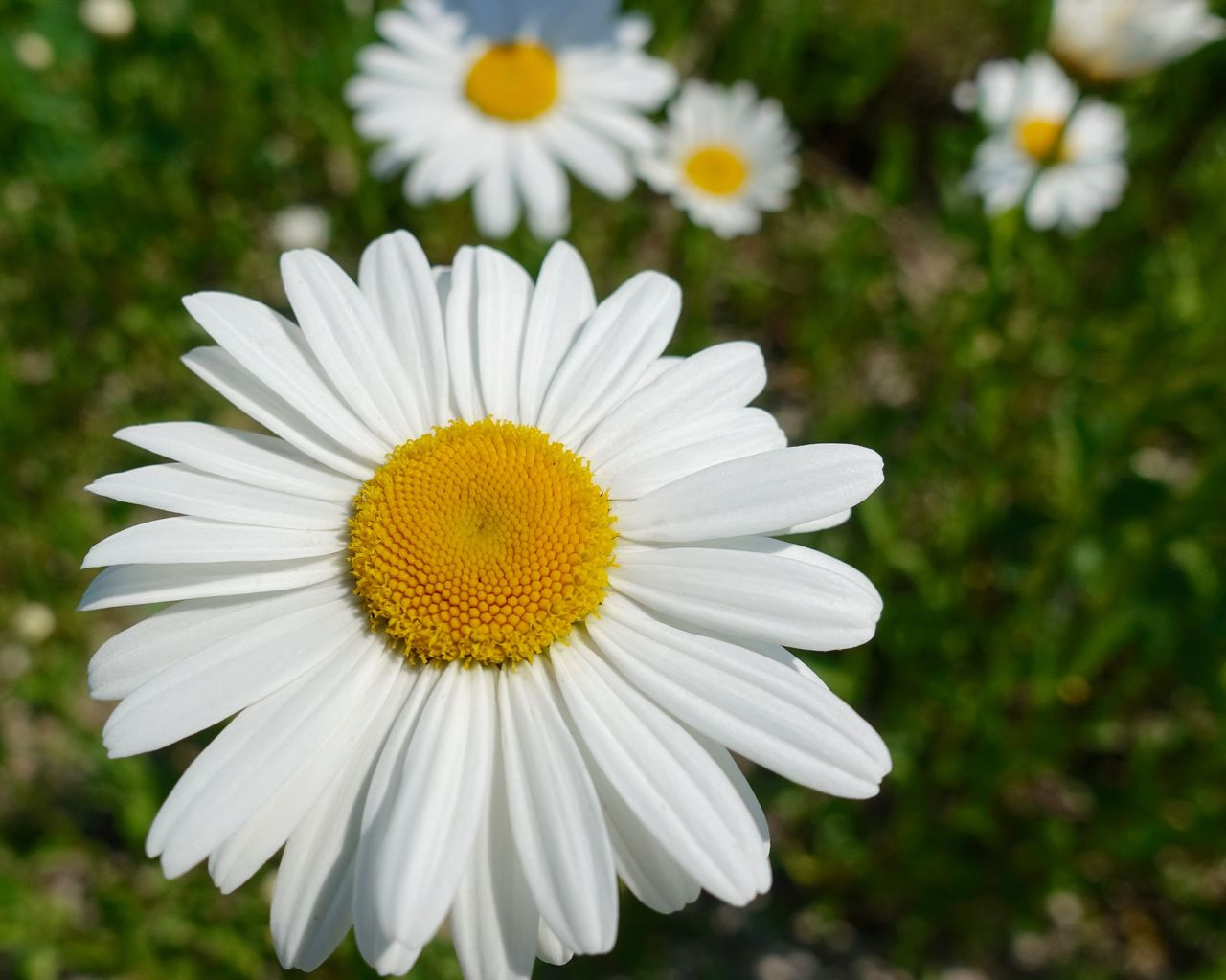flowering plant, flower, freshness, vulnerability, plant, fragility, inflorescence, flower head, beauty in nature, growth, petal, close-up, white color, pollen, focus on foreground, daisy, yellow, nature, day, no people, outdoors