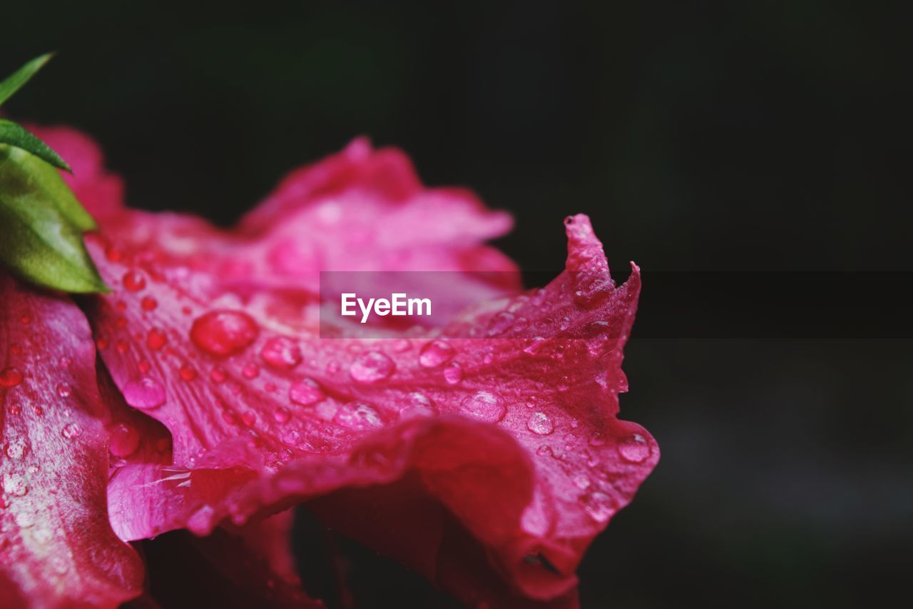 Close-Up Of Raindrops On Pink Rose Flower