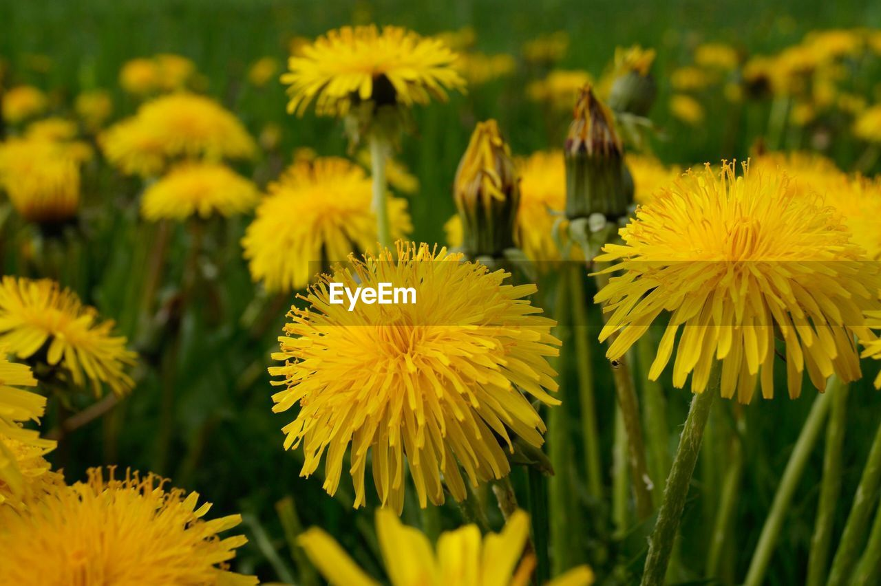 flower, flowering plant, yellow, plant, freshness, growth, fragility, vulnerability, beauty in nature, close-up, flower head, petal, inflorescence, field, selective focus, day, land, focus on foreground, no people, nature, outdoors