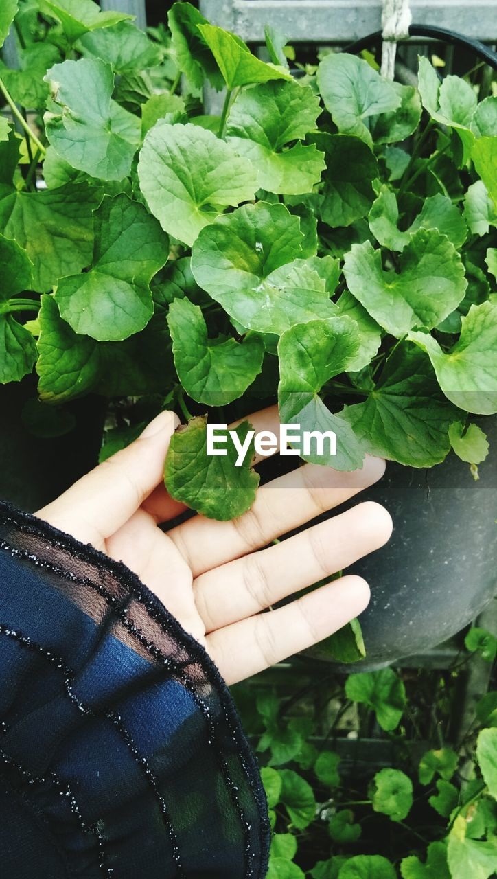 leaf, one person, real people, green color, human hand, growth, holding, human body part, plant, lifestyles, day, outdoors, close-up, men, women, freshness, nature, people