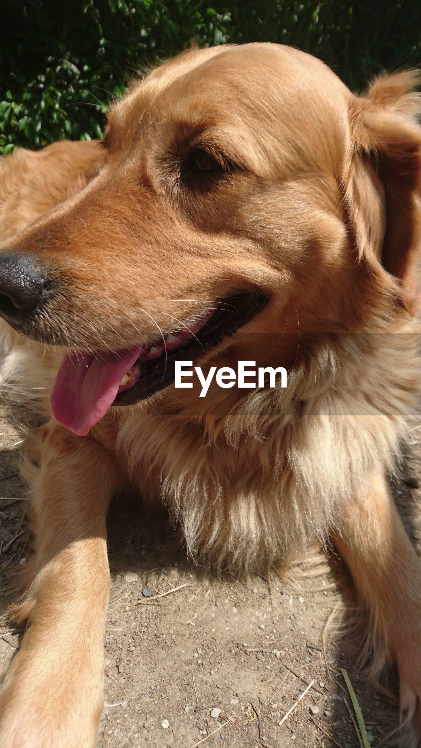 CLOSE-UP OF BROWN DOG