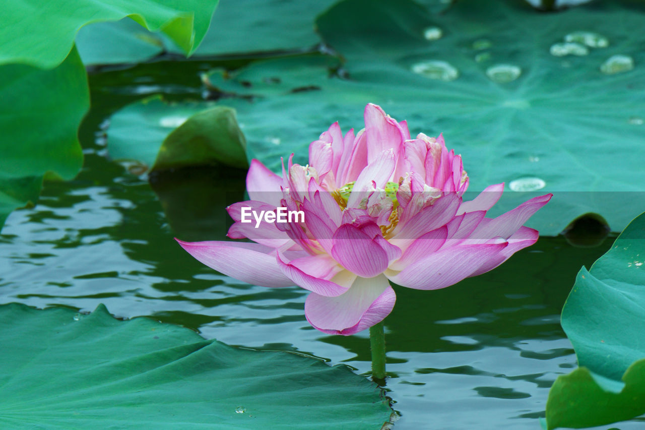 pond, flower, water, nature, beauty in nature, pink color, petal, lotus water lily, water lily, fragility, floating on water, leaf, outdoors, no people, growth, flower head, plant, freshness, day, lotus, high angle view, green color, lily pad, tranquility, close-up
