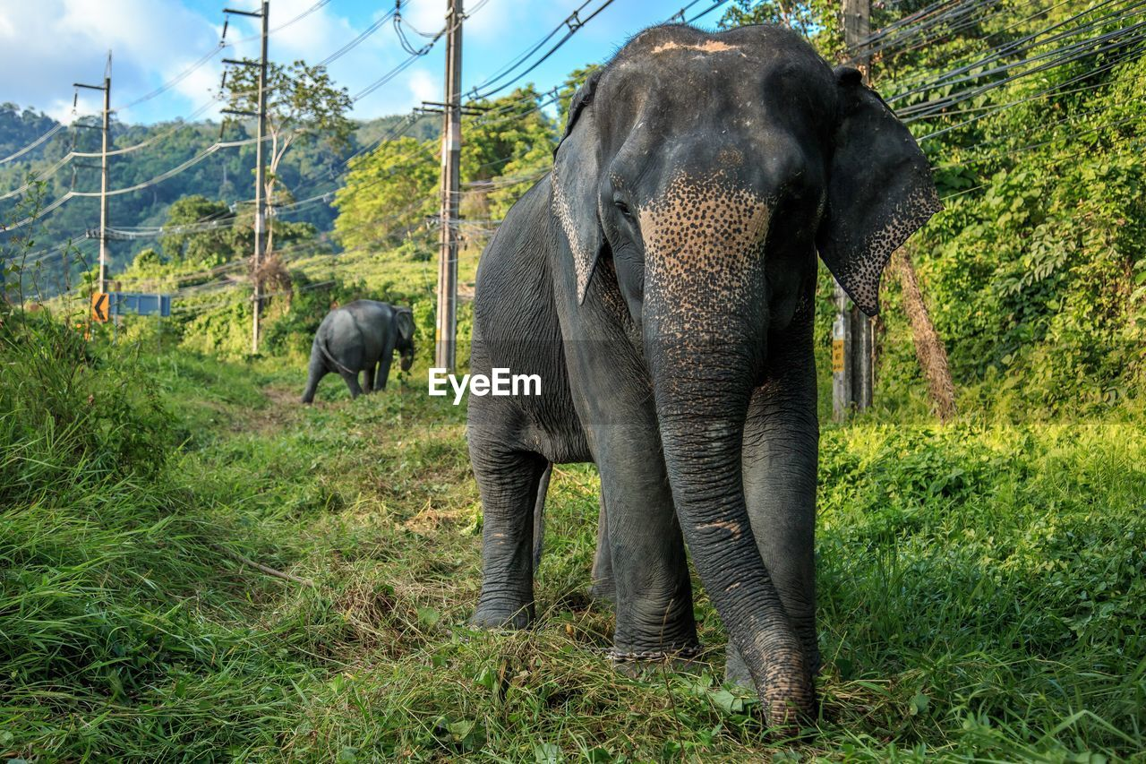 animal, mammal, elephant, animal themes, plant, animal wildlife, tree, vertebrate, land, animals in the wild, nature, no people, group of animals, field, green color, day, grass, herbivorous, growth, outdoors, animal family, animal trunk