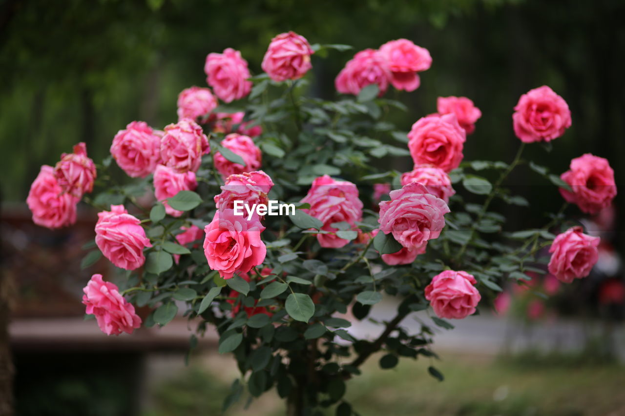 pink color, beauty in nature, flower, plant, flowering plant, growth, fragility, freshness, vulnerability, petal, close-up, nature, inflorescence, flower head, leaf, plant part, no people, focus on foreground, day, outdoors, spring