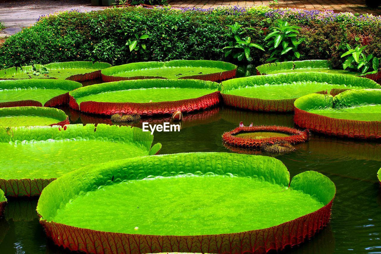 green color, growth, water, water lily, lily pad, nature, outdoors, leaf, plant, beauty in nature, day, no people, water plant, floating on water, lotus water lily, freshness, grass