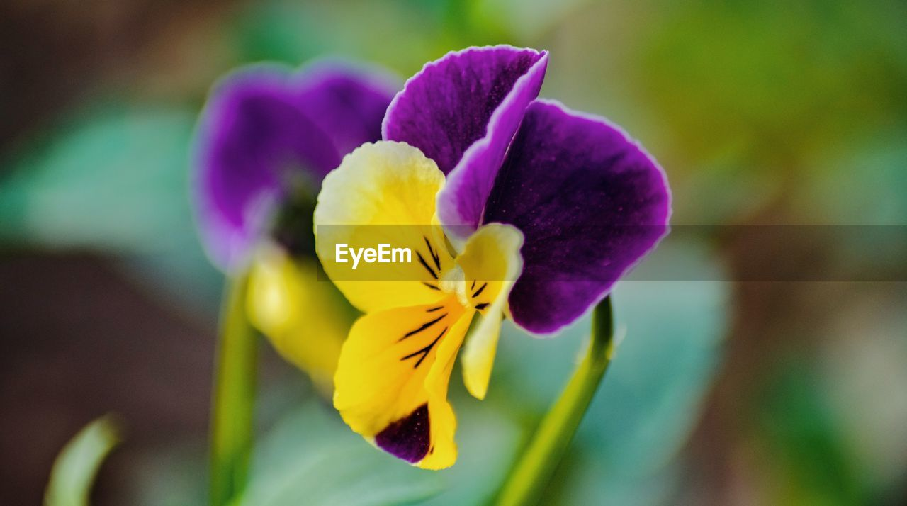 flowering plant, flower, vulnerability, fragility, petal, beauty in nature, freshness, inflorescence, flower head, close-up, plant, growth, purple, yellow, focus on foreground, nature, selective focus, day, pansy, no people, outdoors, iris - plant