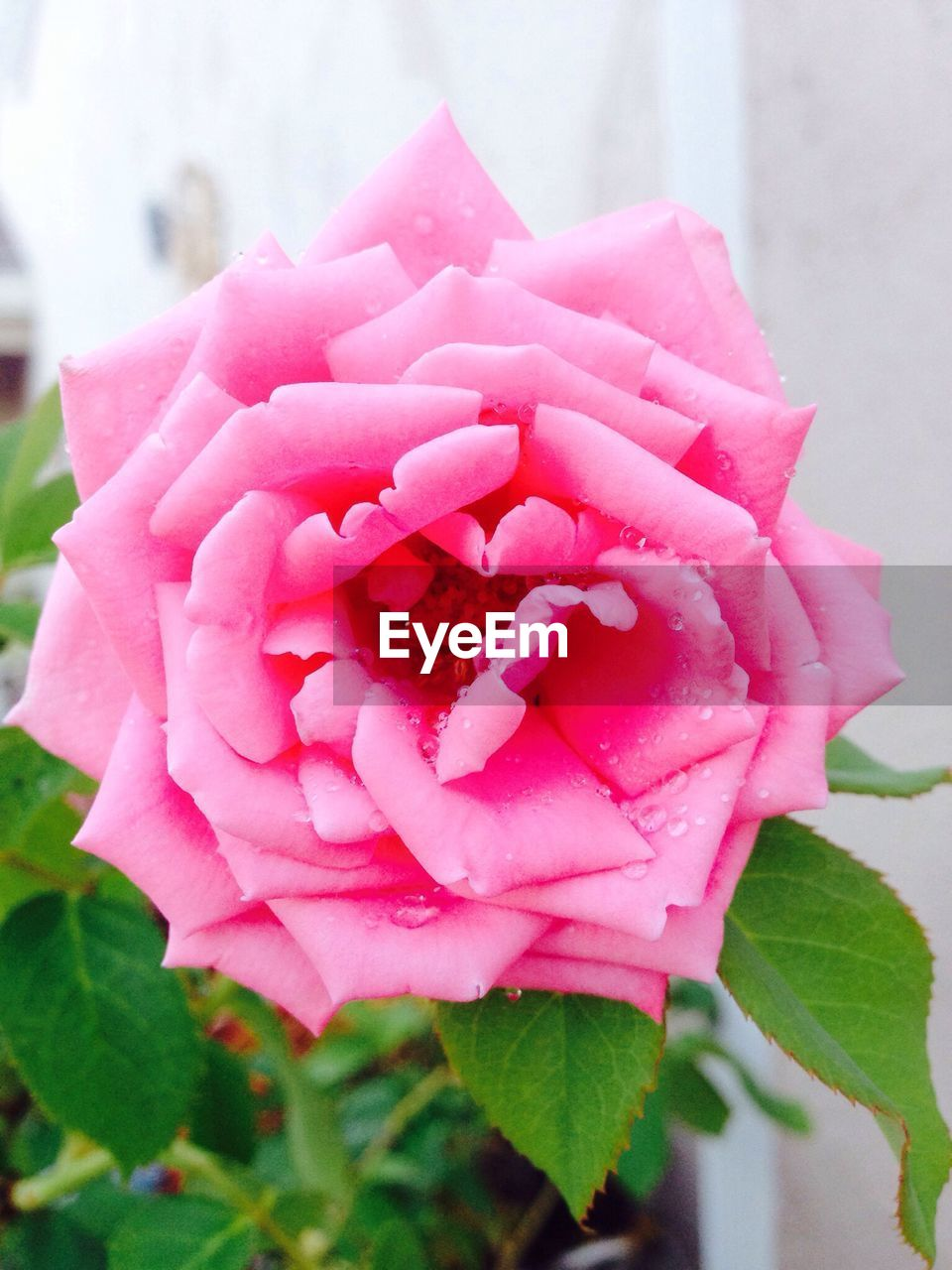 pink color, flower, petal, nature, beauty in nature, freshness, no people, rose - flower, fragility, close-up, flower head, plant, day, outdoors, blooming