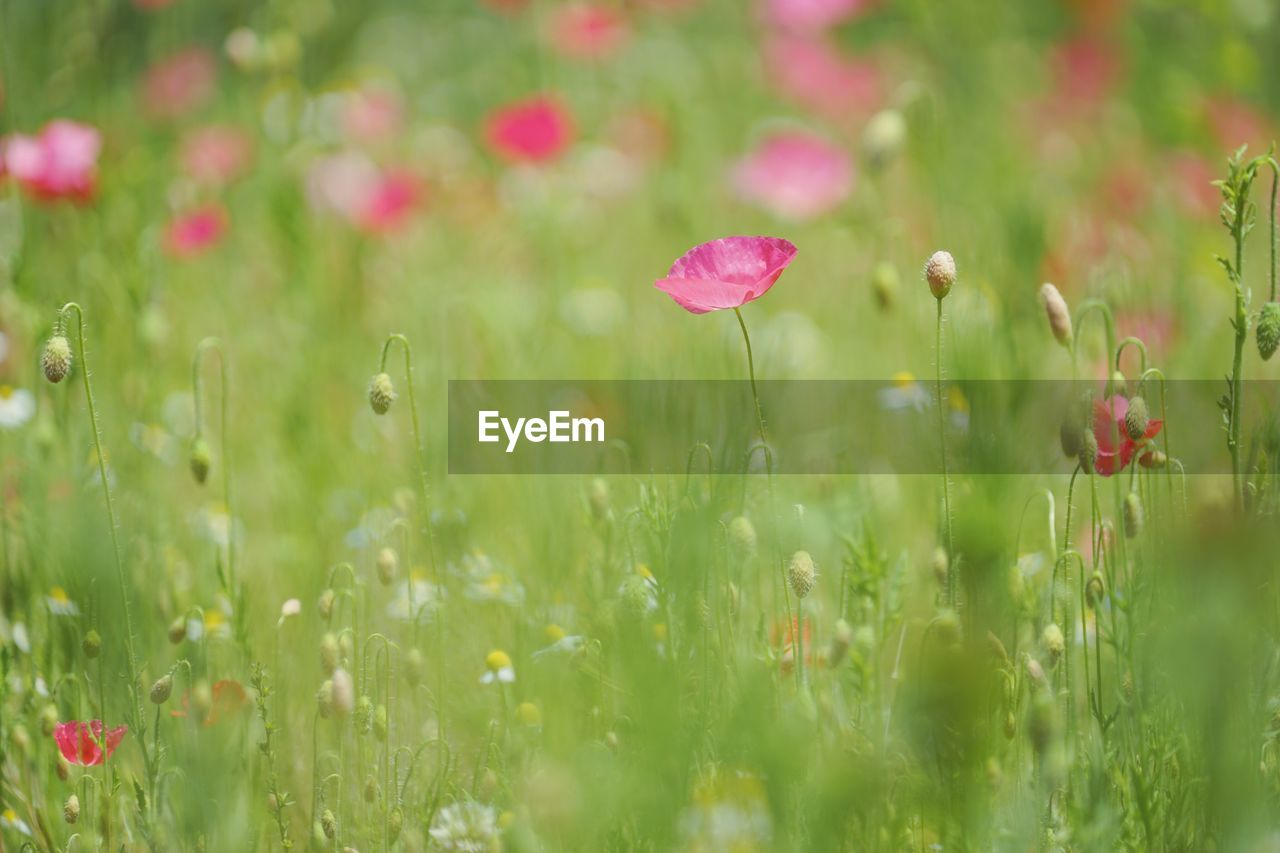 flower, nature, growth, plant, grass, beauty in nature, field, fragility, selective focus, freshness, poppy, petal, no people, green color, day, summer, outdoors, blooming, close-up, flower head