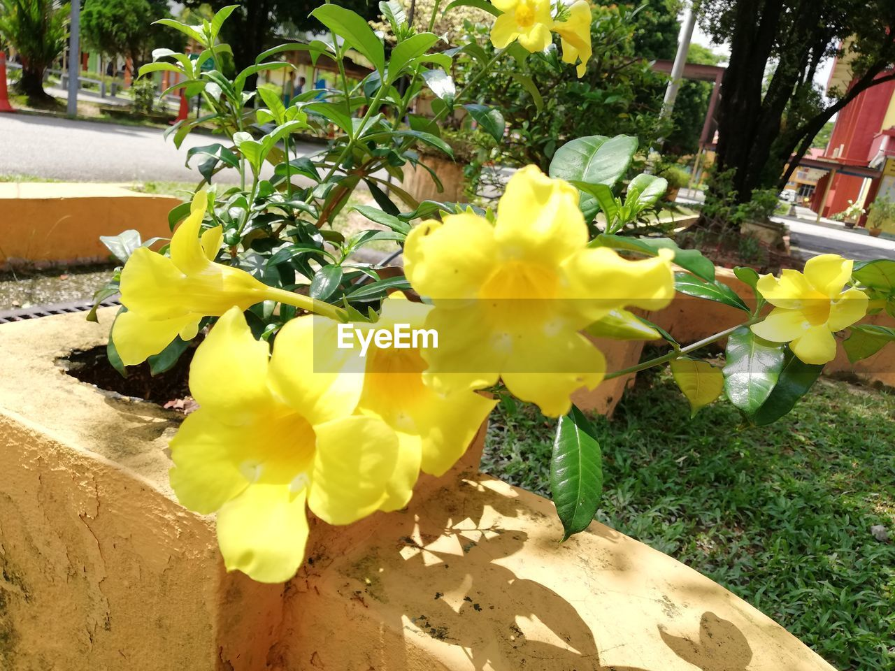 flowering plant, flower, plant, yellow, freshness, beauty in nature, vulnerability, petal, fragility, growth, nature, inflorescence, flower head, no people, day, close-up, outdoors, front or back yard, daffodil, springtime, flower arrangement