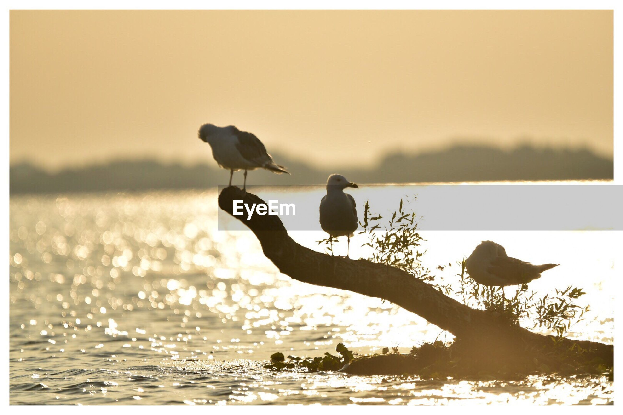 Seagulls perching on driftwood in river during sunset